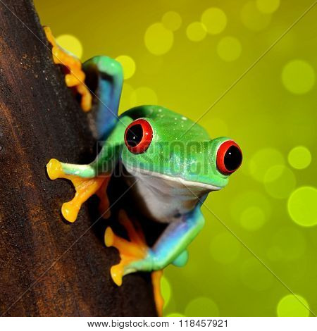 Red-eye tree frog Agalychnis callidryas over glittery green background