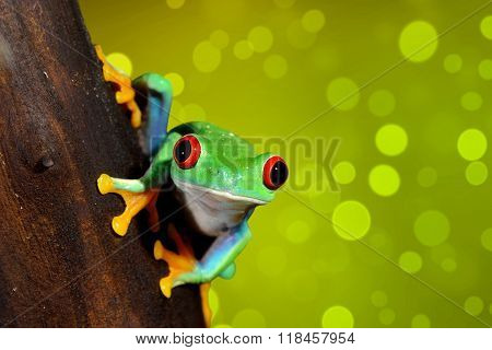 red-eye tree frog Agalychnis callidryas over sparkly green background