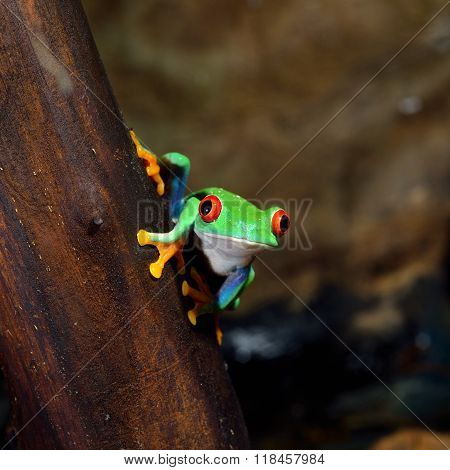 Red-eye tree frog Agalychnis callidryas on a stick in terrarium