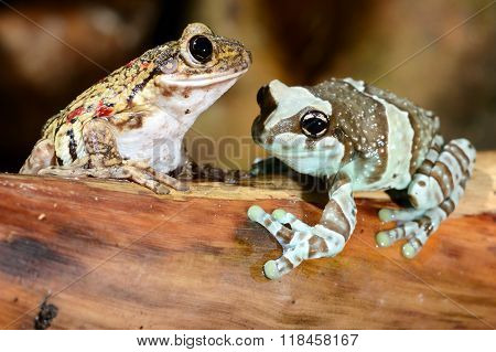 Two colorful frogs in a natural looking terrarium environment