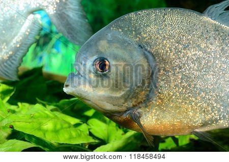 Tropical carnivorous fish piranha in aquarium. Closeup.