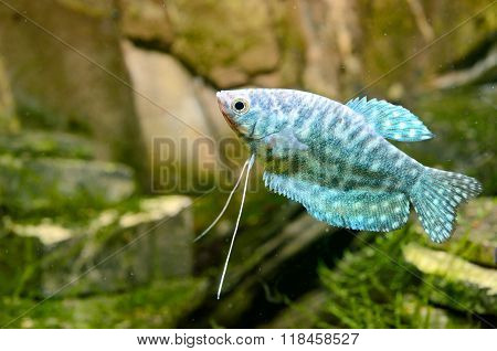 Tropical Gourami Fish Trichogaster In Aquarium