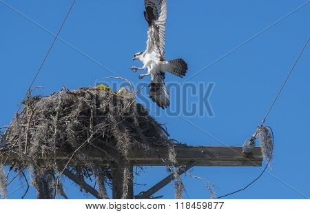Urban Osprey Bird