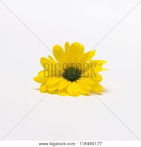 Yellow Chrysanthemum Bud In White Background