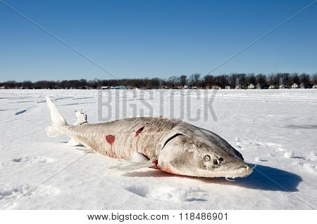 Sturgeon On A Frozen Lake