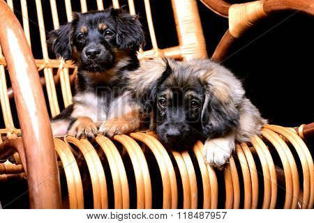 Two cute pupppies laying on a rattan rocking chair