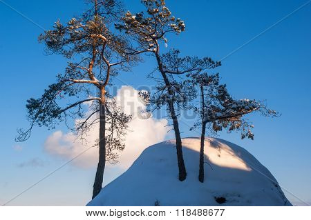 Pine Trees On The Top Of The Snowy Rock