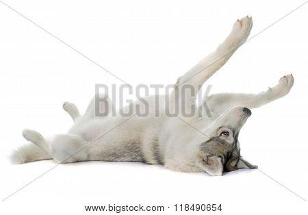 Rolling Siberian Husky