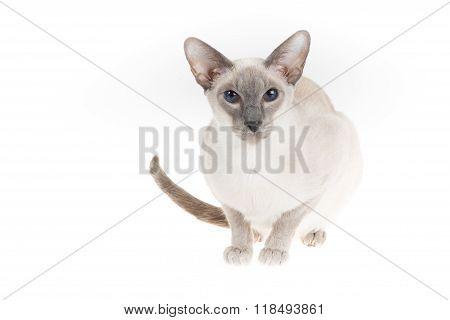 Oriental Shorthair  Looking Against White Background