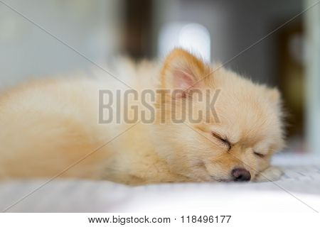 Pomeranian Dog In Hair Shed Period, Sleeping On The Sofa, Focus On The Eye