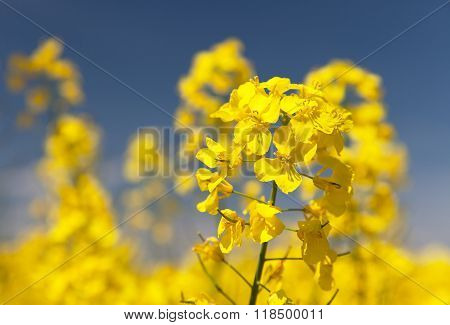 Detail Of Flowering Rapeseed - Brassica Napus