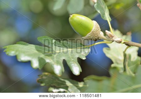 Oak branch with green acorn in forest