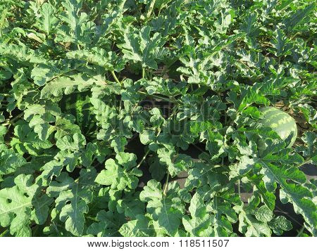 The Growing Water-melon In The Field
