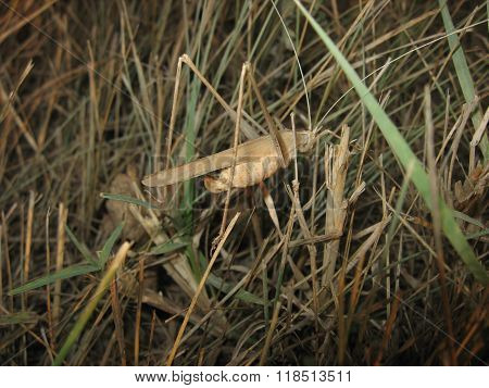 Grasshopper In A Native Habitat