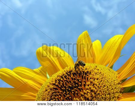 Working Bee On The Blooming Sunflower