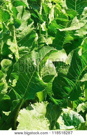 Horseradish (cochlearia Armoracia)  Green Leaves Background