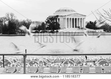 Washington DC -Seagulls with Jefferson Memorial background