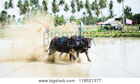 Thailand Buffalo Run