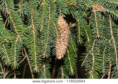 Among The Green Fir-cone Fir Branch.