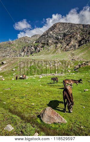 Horses grazing in Himalayas. Lahaul valley, Himachal Pradesh, India