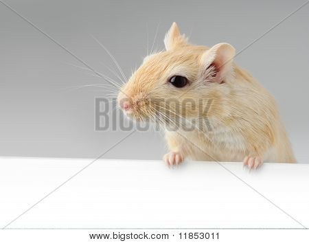 Little Mouse Above White Banner