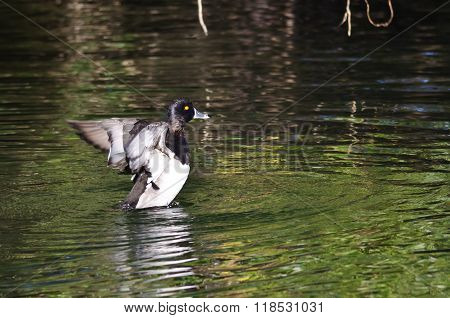 Ring-necked Duck Stretching Its Wings On The Water