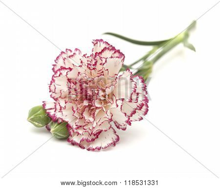 White Carnation With Dark Red Edges