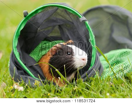 Guinea pig on the textile tunnel