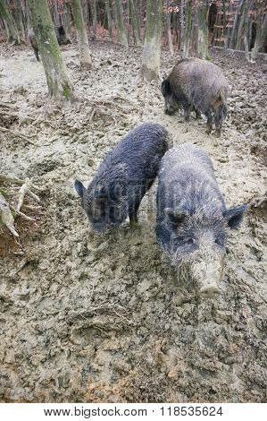 Wild Hogs Digging Mud