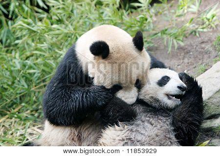 Panda Bär und ihr Jungtier