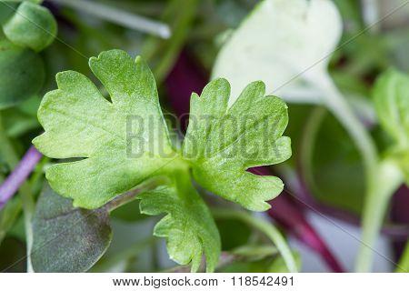 Micro Greens Close-up