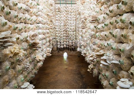 Organic Mushroom Growing In A Farm