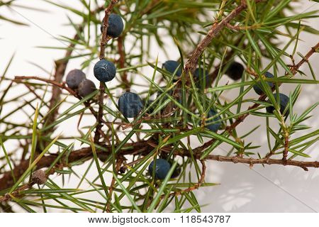 Branch Of Conifers Junipers With Green And Blue Berries.