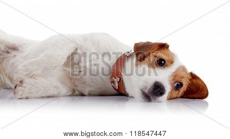The Small Lovely Doggie Of Breed A Jack Russell Terrier