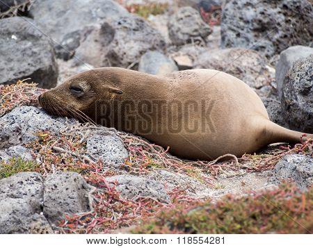 Sea lion (Zalophus wollebaeki) sleeping on lava rocks Plaza Sur Island Galapagos