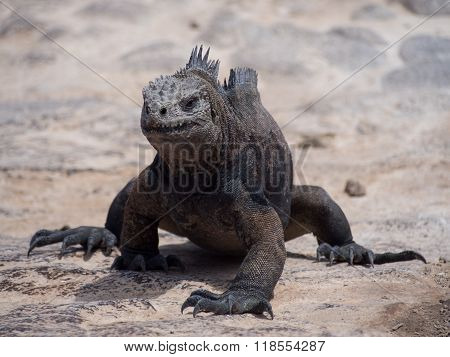 Marine iguana (Amblyrhynchus cristatus) on Plaza Sur Island Galapagos