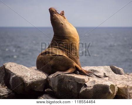 Male sea lion yawning on rocks Plaza Sur Galapagos Islands