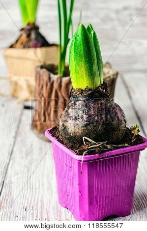 Spring Hyacinth Bulbs