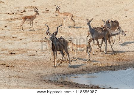 Kudu Antelope Drinking At A Muddy Waterhole