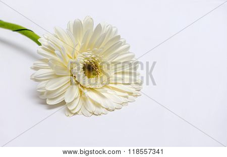 White Gerbera Flower