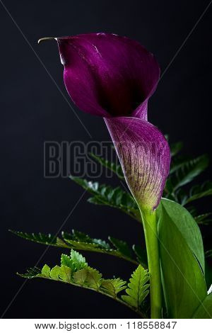 Purple Calla Lily Over Black