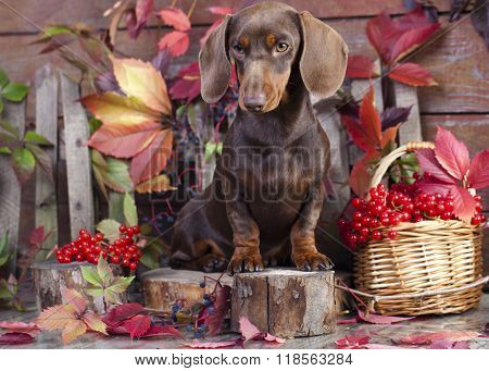 dachshund  in the autumn background with red  leaves
