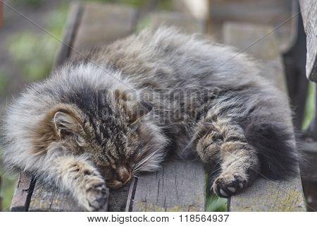 sleeping siberian cat close up.