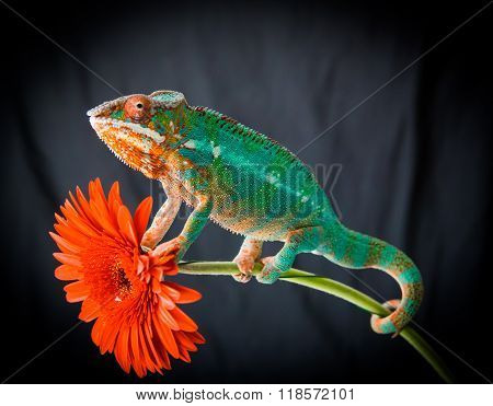 Panther Chameleon Sits On A Flower