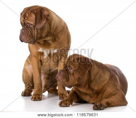 two dogue de bordeaux puppies on white background