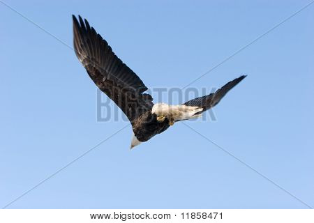 Bald eagle flying on blue sky wings open