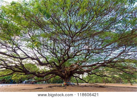 Huge and old Albizia Saman tree in the Kanchanaburi province, Thailand