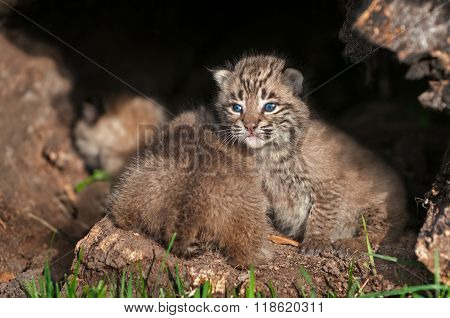 Baby Bobcat Kittens (lynx Rufus) Fore And Aft