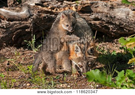 Grey Fox Kit (urocyon Cinereoargenteus) Climbs On Mother