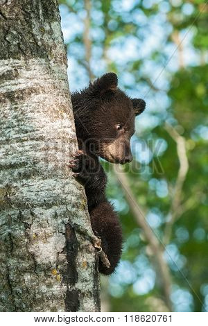 Young Black Bear (ursus Americanus) On Side Of Tree